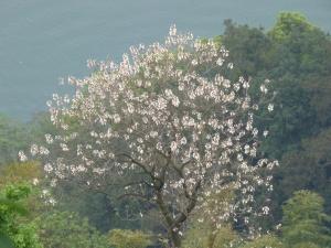 Tung Oil Tree